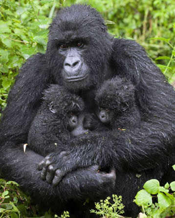 Gorilla & Babies