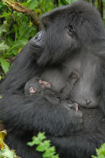 Gorilla breast feeding