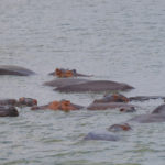hippos in lake mburo 150x150 - Can I Rent A Car In Uganda With Expired or Expiring Driving License?